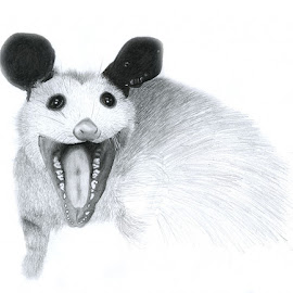 Possum by Jared Proper - Drawing All Drawing ( draw, possum, drawing, animal )