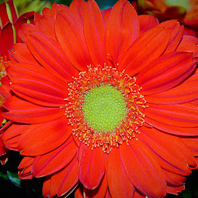 Red daisy by Steve Friedman - Flowers Single Flower ( red, daisy, flower,  )