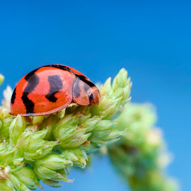 Lady Bug by Percy (ReverseLensOnlyMacroPhotography) - Novices Only Macro
