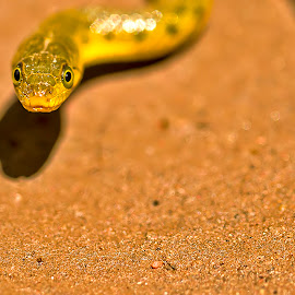 Snake Stare by Balaji Nagarajan - Animals Reptiles ( canon, snake, 7d, baby, reptile, animal, dslr )