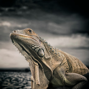 Iguana by Amril Nuryan - Animals Reptiles ( reptiles, lizard, nature, iguana, animal )
