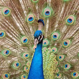 Peacock by Stephan Herzog - Animals Birds