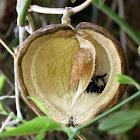 Honeyvine milkweed seed pod