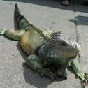 Iguanas, Green Iguanas