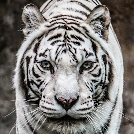 Tigger's face by Roland Bast - Animals Lions, Tigers & Big Cats