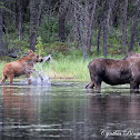 Moose (cow and calf)