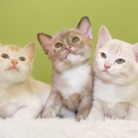 Three in a row by Mia Ikonen - Animals - Cats Kittens ( finland, siblings, cute, young, burmese )