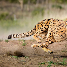 by Marriela Durandegui - Animals Lions, Tigers & Big Cats ( cats, cheetah, marriela durandegui, speed, nevada )