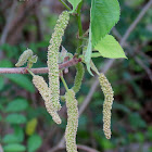 Paper Mulberry, male flowers