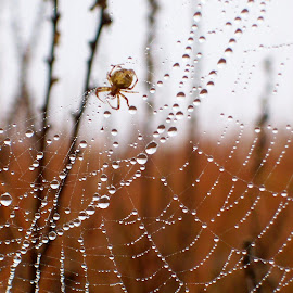 Still Home by Kathy Suttles - Nature Up Close Webs ( home, hanging rain drops, drops, web, spider, dew covered,  )