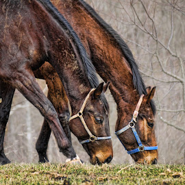 Grazers by Becky Kempf - Animals Horses ( grazing, horses,  )