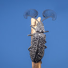 Male Feather-horned Beetle