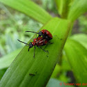 Scarlet Lily Beetle (couple)