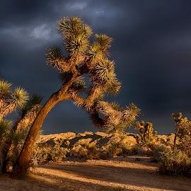 Joshua  by Wendy Chapman Layten - Landscapes Deserts ( joshuatree, desert, sunsets, storm, goldenhour,  )