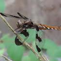 Common Whitetail Skimmer    female
