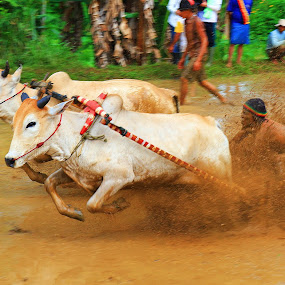 Cow race by Nasaruddin Naseh - Sports & Fitness Other Sports