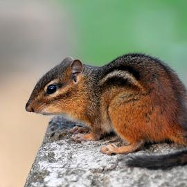 Chipmunk by Sylvia Smialkowska - Animals Other ( animals, chipmunk, rodent )