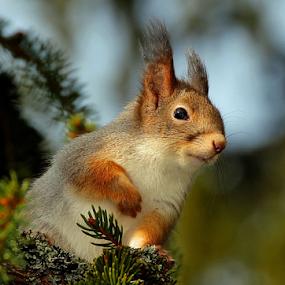 Red squirrel by Teija Kukkonen - Animals Other Mammals