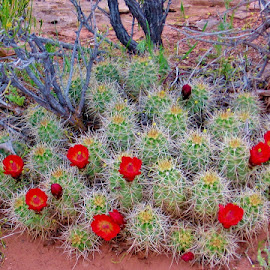 Claret Cup Cactus by Erin Czech - Nature Up Close Other plants ( red, utah, blooming, cactus flower, cactus )