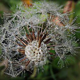 Key Of Memories by Marija Jilek - Nature Up Close Other plants ( dandelion, nature, plapnts, seeds, memories, morning dew, head, key )