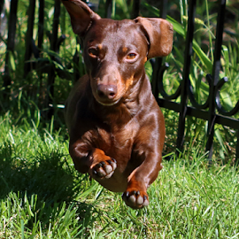 Dachshund running by Rick Touhey - Animals - Dogs Running ( dog running, dachshund, dog )