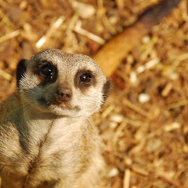 Hello by Sarah Talbot - Animals Other Mammals ( full face, wildlife, meerkat, paradise, eyes )
