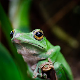 I Really Am by Darlene Demarais Hill - Animals Amphibians ( macro, frog, green, amphibian, gold, perch, eyes )