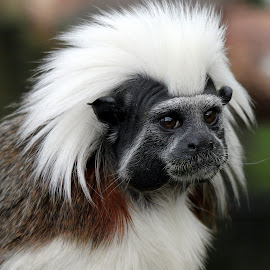 Cotton Top Tamarin by Ralph Harvey - Animals Other Mammals ( tamarin, wildlife, ralph harvey, marwell zoo, animal )
