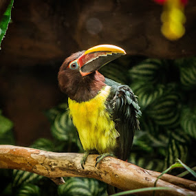 Green Aracari by Mary Phelps - Animals Birds ( memphis, zoo, memphis zoo, tennessee, green aracari,  )