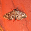 Crowned Phlyctaenia Moth
