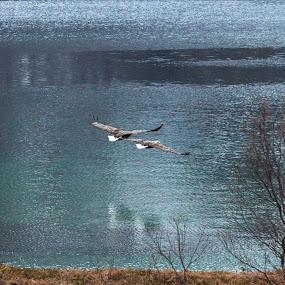 Eagles by Benny Høynes - Animals Birds ( daytime, bigbirds, eagles, birds, norway )