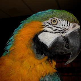 Parrot by Peggy LaFlesh - Animals Birds ( parrot, birds )