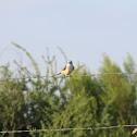 Scissor-tailed Flycatcher (Juvenile)