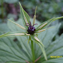 Herb Paris