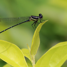 Black dragon by Arghya Dutta - Animals Insects & Spiders ( green, green background, leaf, dragonfly, black )