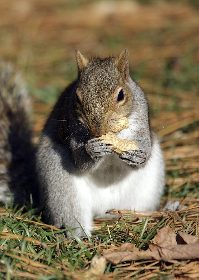 A Mouth Full by Roy Walter - Animals Other Mammals ( peanuts, other mammals, animals, nature, wildlife, mammal, squirrel )