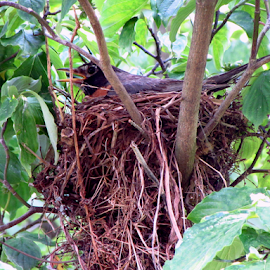 Robin nest ! by Jim Barton - Nature Up Close Hives & Nests ( bird, robin, nest, spring, animal )