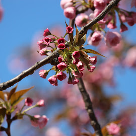 The Cherry Blossom Festival- Washington DC by Abhishek Sharma - Nature Up Close Gardens & Produce (  )