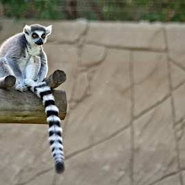 Ring-tailed Lemur by Paulo Leitão - Animals Other Mammals ( lemur )