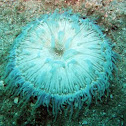 Blue long tentacle anemone