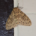 Asian Gypsy Moth