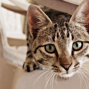 Goshu by Lalaji Anwar - Animals - Cats Portraits (  )