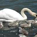 Mute Swan and Cygnets part 1