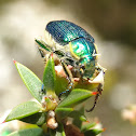 Blue-green flower chafers