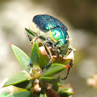 Blue-green flower chafers