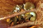 klubíčko opiček