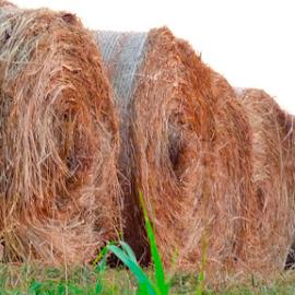 Hay bales by Roxanne McCallister - Landscapes Prairies, Meadows & Fields ( hay bales, hay, harvest, rustic, farming )