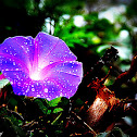 Blue Dawn Flower, Oceanblue morning-glory, Blue morning-glory