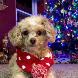 My little Ornament by Jerry Keefer - Animals - Dogs Portraits ( poodle, toy, christmas tree, cute, dog )