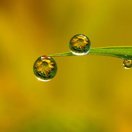 You and I by Tri Setyo Widodo - Nature Up Close Natural Waterdrops ( water drops, macro, nature, dew, floral )